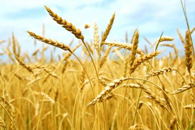 Governo zera TEC para importação de 1 milhão de toneladas de trigo